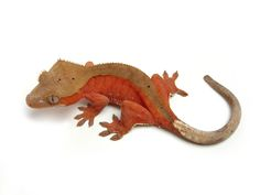 Red Bi-Color | The Urban Gecko Crested Gecko Care, Crocodiles, Alligators, Reptiles And Amphibians, Chameleons, Lizards, Tropical, Urban, Pets