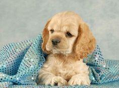 Cocker spainel aka the most adorable dog eva!!!! #COCKERSPANIELS