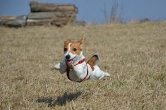 flying Jack Russell Terriers at warp speed
