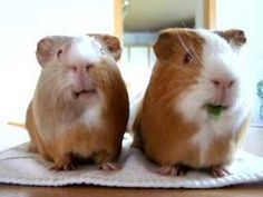 Funny and cute Guinea pigs - nom nom nom nom Happy Animals, Funny Animals, Cute Animals, Guniea Pig, Baby Guinea Pigs, Rabbit Cages, Cute Animal Videos, Pet Rabbit, Little Pigs