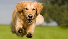 The traits I adore about the Intelligent Golden Retriever Puppies Dog Training Methods, Basic Dog Training, Dog Training Techniques, Training Your Puppy, Training Dogs, Puppy Obedience Training, Positive Dog Training, Easiest Dogs To Train, Dog Insurance