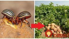 Držte sa tohto a s nenávidenou pásavkou zemiakov budete mať pokoj: Keď to zacíti, poberie sa z vašej záhrady kade-ľahšie!