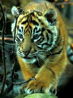 Sumatran Tiger Cub, Chester Zoo. | by Brimack