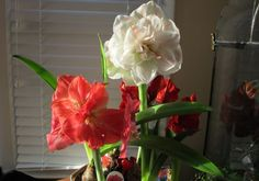 What to do with your amaryllis.