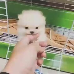 She is so beautiful Rate this cuteness out of 10 Dont forget to us for a daily dose of cuteness! Video by cheezepom Cute Baby Puppies, Cute Baby Animals, Cute Babies, Teacup Dog Breeds, Teacup Puppies, Pet Dogs, Dogs And Puppies, Doggies, Pomeranian Spitz