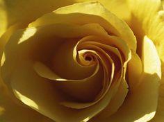 Yellow Rose Art Print at AllPosters.com