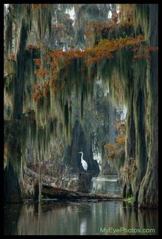 Beautiful Lake Martin (Swamp Home - South Louisiana Cajun swamp image featuring a Great Blue Heron in a Bald Cypress forest with Spanish Moss) by Kerry Griechen - My Eye Photography Louisiana Swamp, Louisiana Art, Foto Nature, All Nature, Beautiful World, Beautiful Places, Spanish Moss, Belle Photo, Photos
