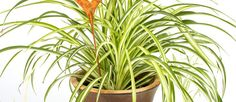 Top indoor plants for indoor air pollution that are dog and child-safe