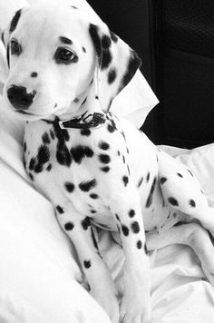 @katrinihln It's funny with Dalmatian you don't know if there's a black and white filter.