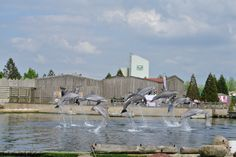 Een groep dolfijnen die tegelijk springen!!!!!