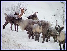 """Woodland Caribou -- """"There are two [types] within the ...woodland caribou, subspecies: [mountain] and northern woodland caribou.  [Which] have been reduced to one tiny population in the U.S., in far northern Idaho and northeastern Washington...."""""""