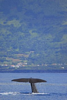 Whales diving near shore - the Azores, Portugal