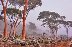 Salmon Gums (Eucalyptus salmonophoia) are native to Western Australia. Other common names include Woonert  Wuruk.