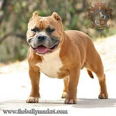 Beastro's son Thee Buss. 100% American Bully.