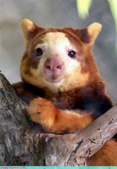 The GOLDEN MANTLED TREE KANGAROO was discovered in 1990 in the Torricelli Mountains region of Papua New Guinea. The largest tree-dwelling mammals in Australia, it can be found in lowland and mountainous rainforests. The total population is less than 250 mature individuals. (2008)