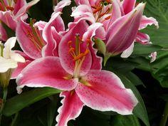 http://faaxaal.forumgratuit.ca/t2313-photos-de-bulbes-a-fleurs-lys-oriental-lilum-oriental