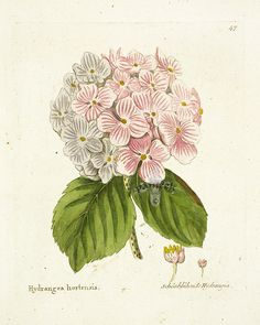 Free Botanical Illustrations | Ferdinand Vietz Botanical Prints 1800-1822