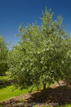 Olive Orchard, Cromwell, Central Otago, South Island, New Zealand