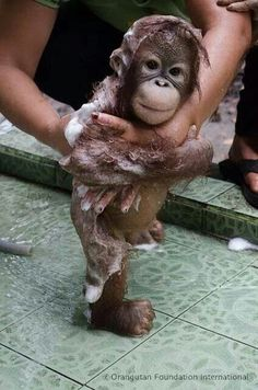 Rescued baby orangutang gets a bath! We have to stop the destruction of their habitat -forest clearance to grow palm oil