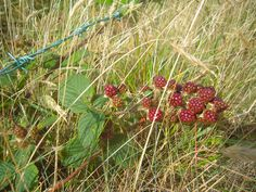berries ripening along the roadside