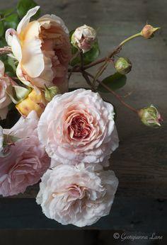 David Austin English roses by Georgianna Lane