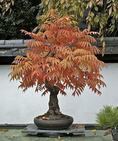 Easy To Grow Houseplants Clean the Air Staghorn Sumac 20 Seeds - Rhus Typhina - Outdoors Or Bonsai
