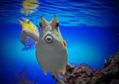 My favorite fish.  Funny looking little fella.