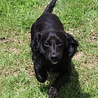 Albany, Georgia - Dachshund. Meet Baby, a for adoption. https://www.adoptapet.com/pet/22468971-albany-georgia-dachshund