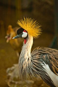East African Crowned Crane   We used to sponser a pair of these at a wild animal park in Oregon.  They are gorgeous birds!
