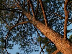 Pine Needles Texas Pines  1 Gallon Bag of Dried by TheIDconnection, $5.00  http://theidconnection.etsy.com. etsy.com  Grown since 1960 in La Marque, Texas ... last grove left in center of city of La Marque   http://rolanddressler.blogspot.com