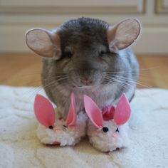 #bunnyslippers  Follow me on Instagram @cosettethechinchilla