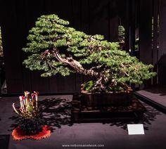 Todd Schlafer Colorado Blue Spruce Bonsai Photo by Naedoko Bonsai Bonsai Tools, Blue Spruce, Photo Blue, Bonsai Garden, Ikebana, Diy Flowers, Christmas Tree, Colorado, Plants