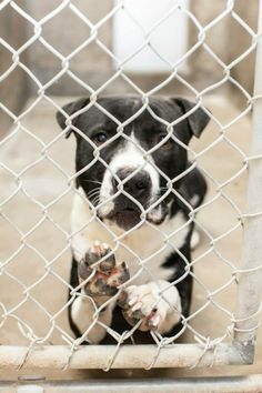 Beautiful soul RIP - Male less than a year old Kennel A9 AVAILABLE NOW*********$51 to adopt LOCATED AT ODESSA TEXAS ANIMAL CONTROL. https://www.facebook.com/photo.php?fbid=712175512140023&set=a.652696111421297.1073741847.248355401855372&type=3&theater