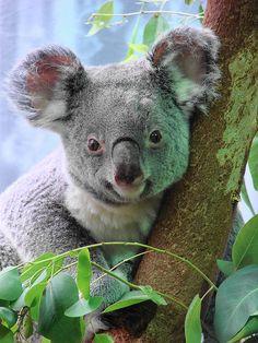Koala named Midgee Looking right at ya