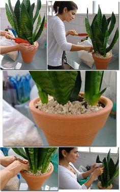 A espada-de-são-jorge tem crescimento lento, mas é resistente. Pode ser cultivada a pleno sol ou à meia sombra. Aguenta frio e calor e não precisa de muita água. Aliás, cuidado para não deixar o vaso encharcado.