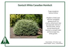Gentsch White Canadian Hemlock Tsuga canadensis 'Gentsch White' is a variegated, globose shrub that will brighten most any shady spot. Its creamy-white branch tips are especially intense in fall and… Canadian Hemlock, Picea Abies, White Branches, Mini Twists, Foundation Planting, Companion Planting, Small Trees, Trees And Shrubs, Horticulture