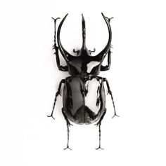 three horned rhino beetle.  Mac° - ID for Eric Helena - Adrian Mendoza - author of The Kaleidoscope : The Gift of Madness