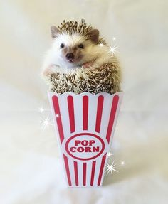 Meet Huff, a 3-year-old rescue African Pygmy hedgehog from Utah whose adorable fangs have earned him a following of 12k people on Instagram. Otherwise known as Sir Hodge Huffington the Cricket Slayer, the cutie-pie was adopted by student Carolyn Parker after his previous owner treated him badly.