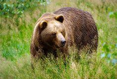 рычащий медведь на фоне вулканов - Поиск в Google