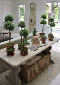 My own indoor mini forest 🌳🌿🌳🌿🌳 Running out of room here 😗 Thanks to my good friend Phyllis henhurst for taking this photo of my myrtle topiari Farmhouse Interior, French Farmhouse, French Kitchen, Interior Garden, French Cottage, French Country, Interior Design, Container Plants, Container Gardening
