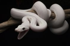 heathergraves: I want an axanthic ivory pastel ball python so badly!
