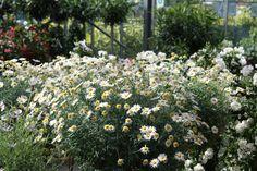 Struikmargriet om je terras op te fleuren
