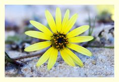 MeuOlhar: A Flor Amarela