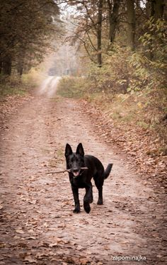 #black german shepherd
