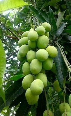 Manga (Mangifera indica L. Fruit Tree Garden, Fruit Plants, Garden Trees, Fruit Trees, Fruit And Veg, Fruits And Vegetables, Fresh Fruit, Fruit Bearing Trees, Beautiful Fruits