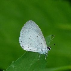 10 Remarkable and Fascinating Butterfly Facts ---- Spring Azure