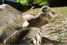 140 year old tortoise wears 5 day old son as hat