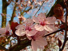 california almond blossom - Google Search