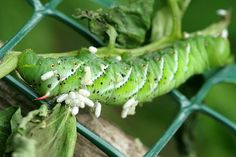 Tomato Hornworm: how to spot them before damage is bad and what to do when you find them...
