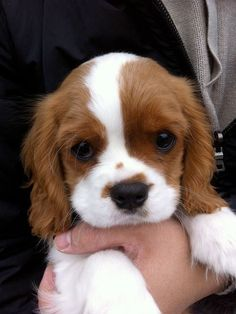 Cavalier King Charles puppy--such cute dogs. They're like cocker spaniels that never grow up. Puppies And Kitties, Cute Puppies, Cute Dogs, Doggies, Kittens, Puppies Tips, Animal Pictures, Cute Pictures, Animals Photos